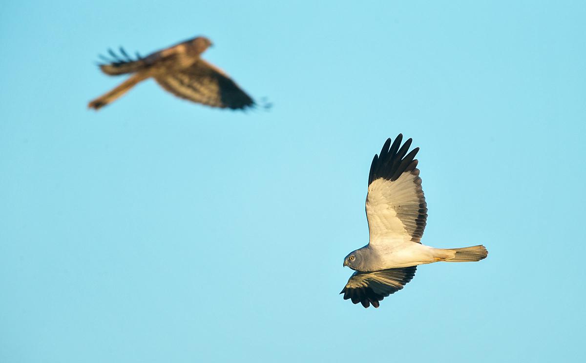 Kornweihe, Circus cyaneus, Hen Harrier, vögel, birds, greifvögel, Accipitriformes, raptors, flug, fliegend
