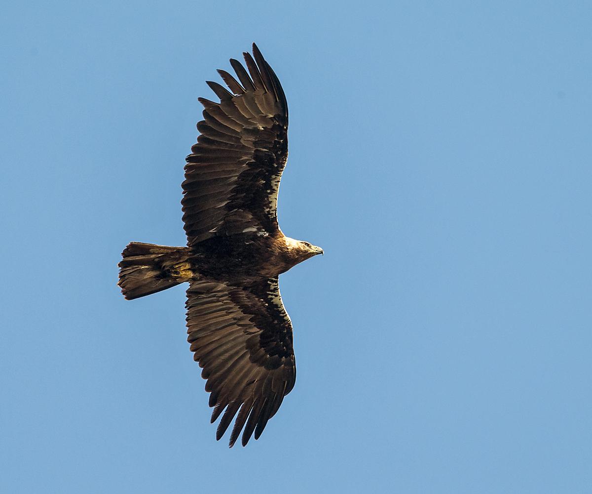Spanischer Kaiseradler, Aquila adalberti, Spanish Imperial Eagle, Iberian Imperial Eagle, Adalbert's Eagle, greifvögel, Accipitriformes, raptors, vögel, birds, flugbild