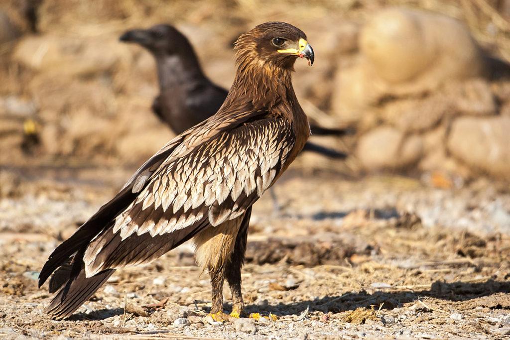 Schelladler, Aquila clanga, Spotted Eagle, vögel, birds, greifvögel, Accipitriformes, raptors, adler, eagle, jungvogel