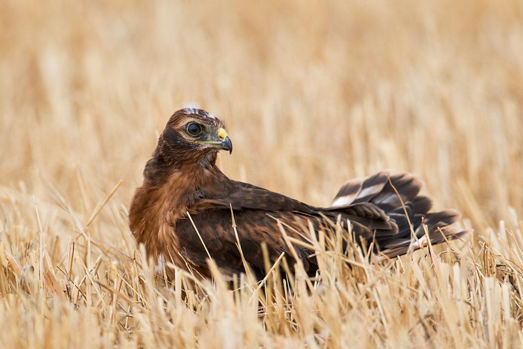 Wiesenweihe, Circus pygargus, Montagu`s Harrier, greifvögel, Accipitriformes, raptors, vögel, birds, jungvogel
