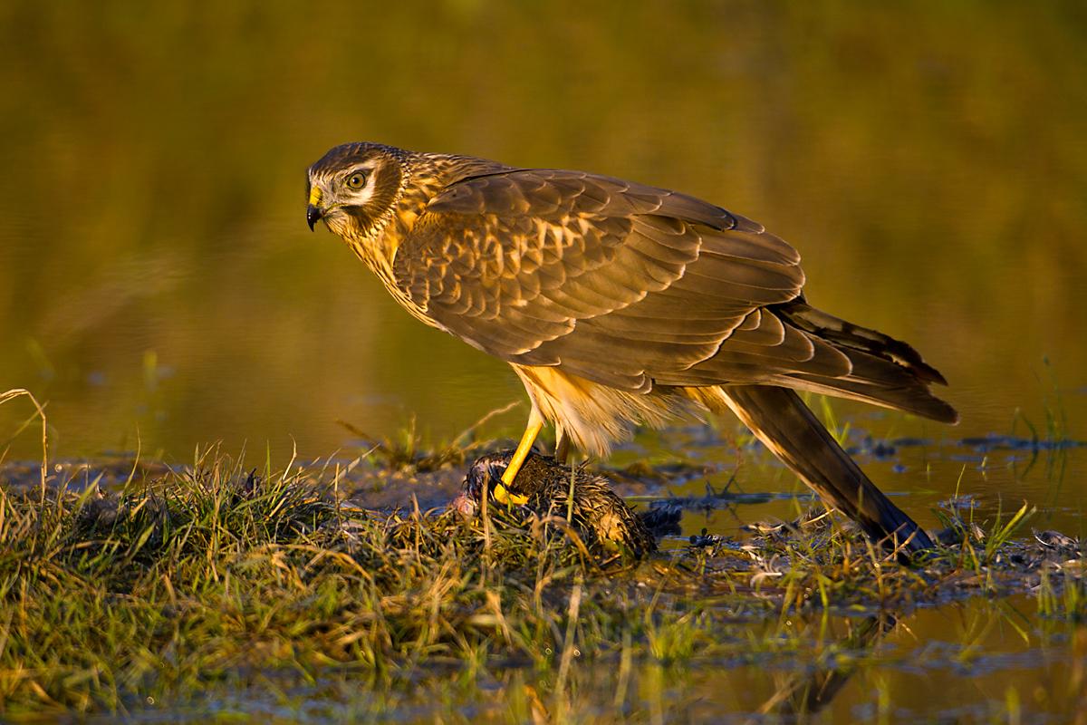 Kornweihe, Circus cyaneus, Hen Harrier, vögel, birds, greifvögel, Accipitriformes, raptors, jungvogel