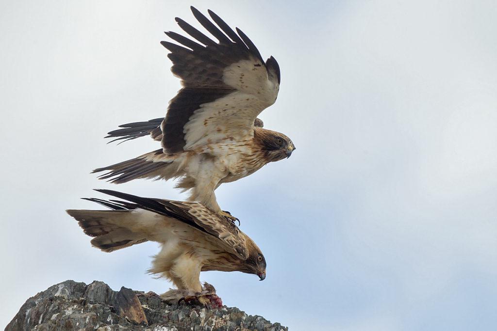 Zwergadler, Aquila pennata, Hieraaetus pennatus, Booted Eagle, greifvögel, Accipitriformes, raptors, vögel, birds, adler, eagle, kopula