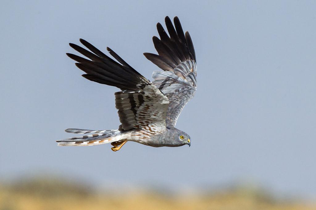 Wiesenweihe, Circus pygargus, Montagu`s Harrier, greifvögel, Accipitriformes, raptors, vögel, birds, männchen, flug, fliegend