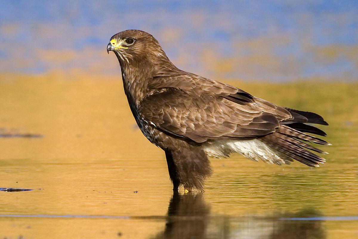 Mäusebussard, Buteo buteo, Buzzard, greifvögel, Accipitriformes, raptors, vögel, birds