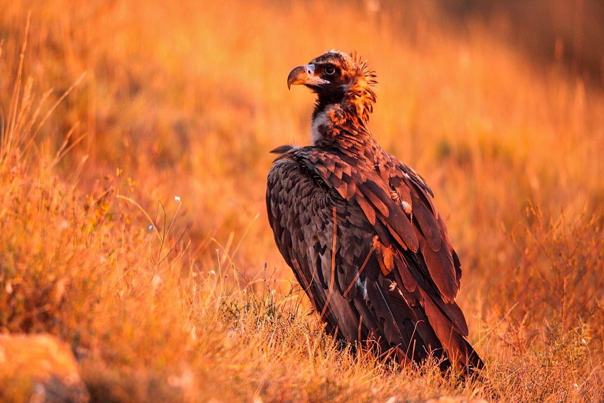 Mönchsgeier, Aegypius monachus, Black Vulture, greifvögel; Accipitriformes; raptors; geier; vögel; birds; vulture
