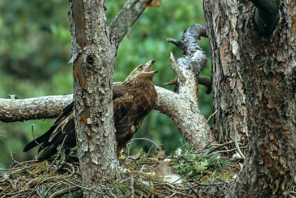 Schreiadler, Aquila pomarina, Lesser Spotted Eagle, vögel, birds, greifvögel, Accipitriformes, raptors, adler, eagle, nest, horst, altvogel, ruf