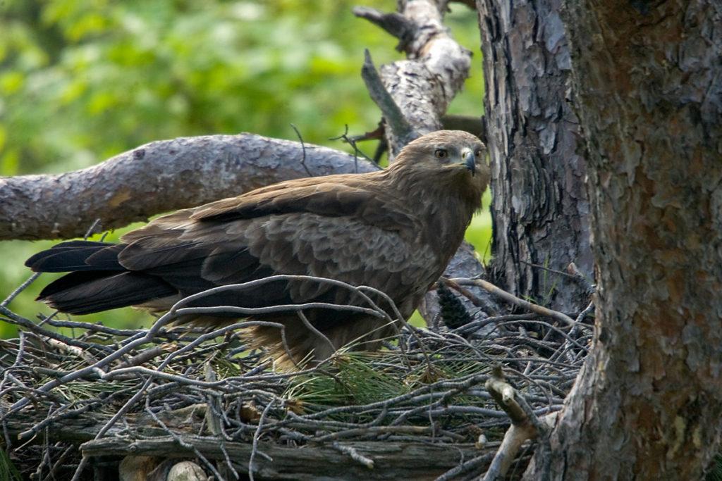 Schreiadler, Aquila pomarina, Lesser Spotted Eagle, vögel, birds, greifvögel, Accipitriformes, raptors, adler, eagle, nest, horst