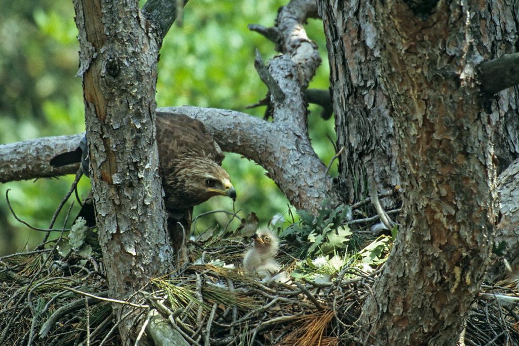 Schreiadler, Aquila pomarina, Lesser Spotted Eagle, vögel, birds, greifvögel, Accipitriformes, raptors, adler, eagle, nest, horst, jungvogel