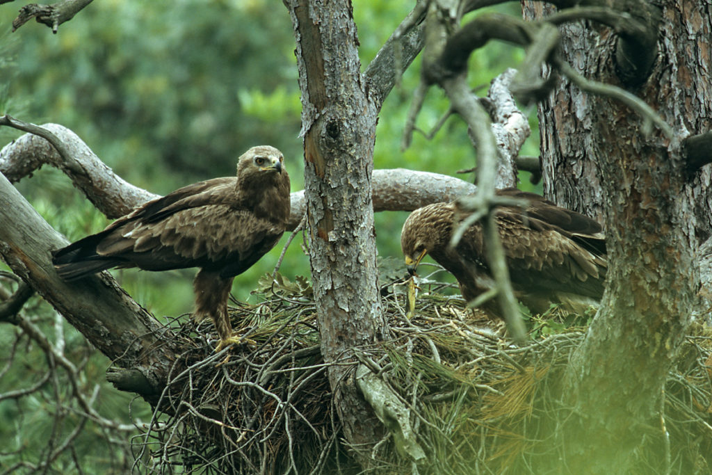 Schreiadler, Aquila pomarina, Lesser Spotted Eagle, vögel, birds, greifvögel, Accipitriformes, raptors, adler, eagle, nest, horst, altvögel, paar