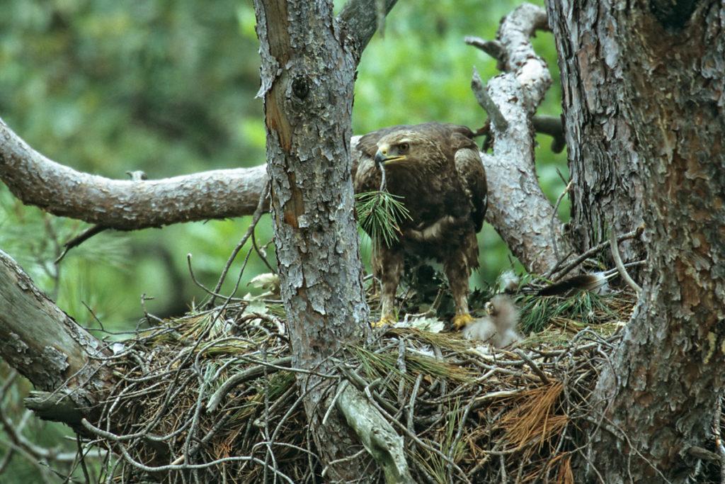 Schreiadler, Aquila pomarina, Lesser Spotted Eagle, vögel, birds, greifvögel, Accipitriformes, raptors, adler, eagle, nest, horst, altvogel, nestbau