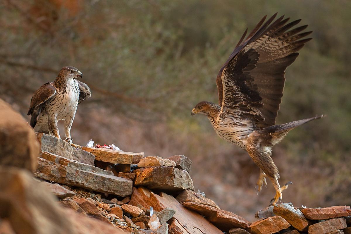 Habichtsadler, Aquila fasciata, Bonelli`s Eagle, vögel, birds, greifvögel, Accipitriformes, raptors, adler, eagle