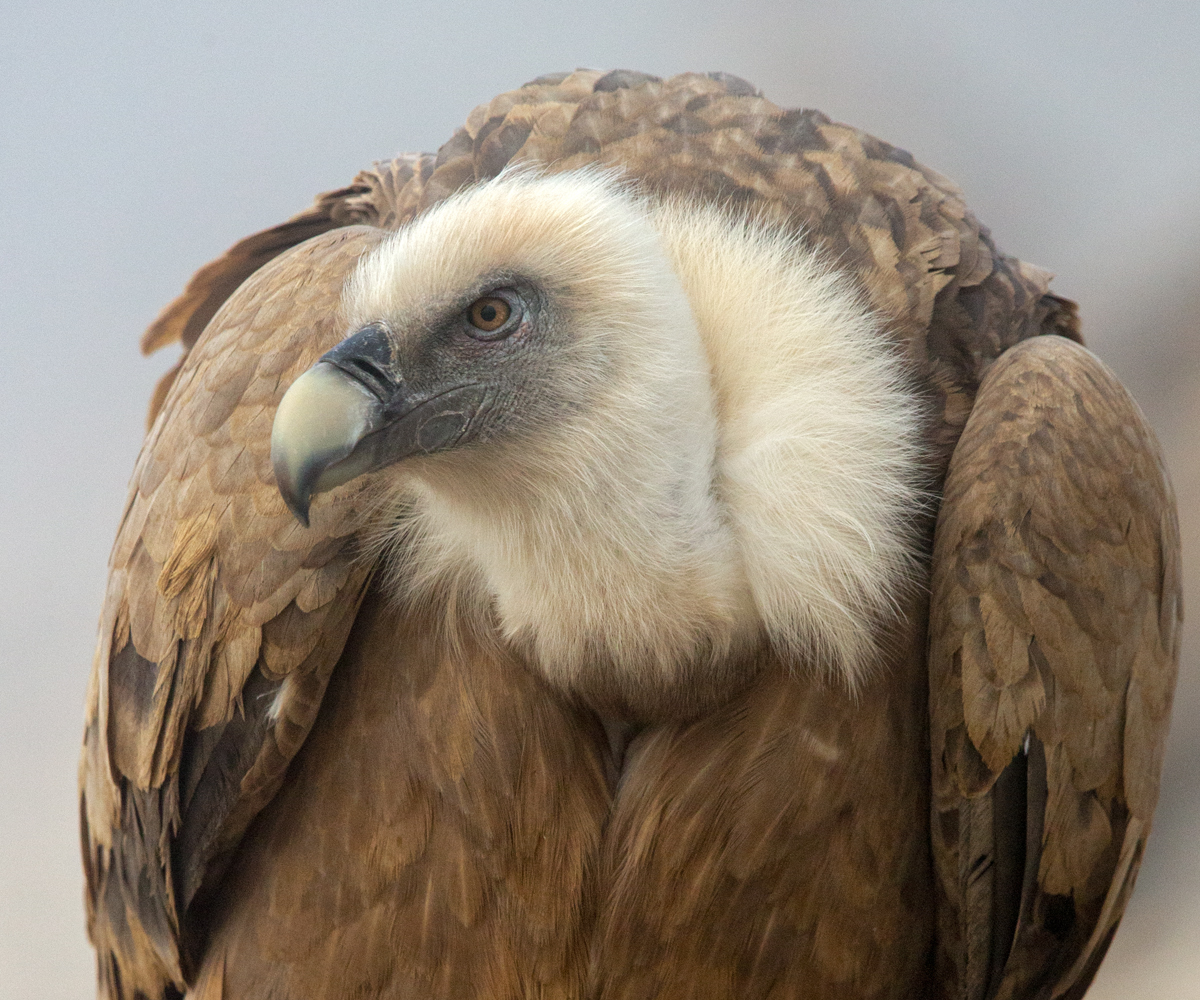 Gänsegeier, Gyps fulvus, Griffon Vulture, greifvögel; Accipitriformes; raptors; geier; vögel; birds; vulture