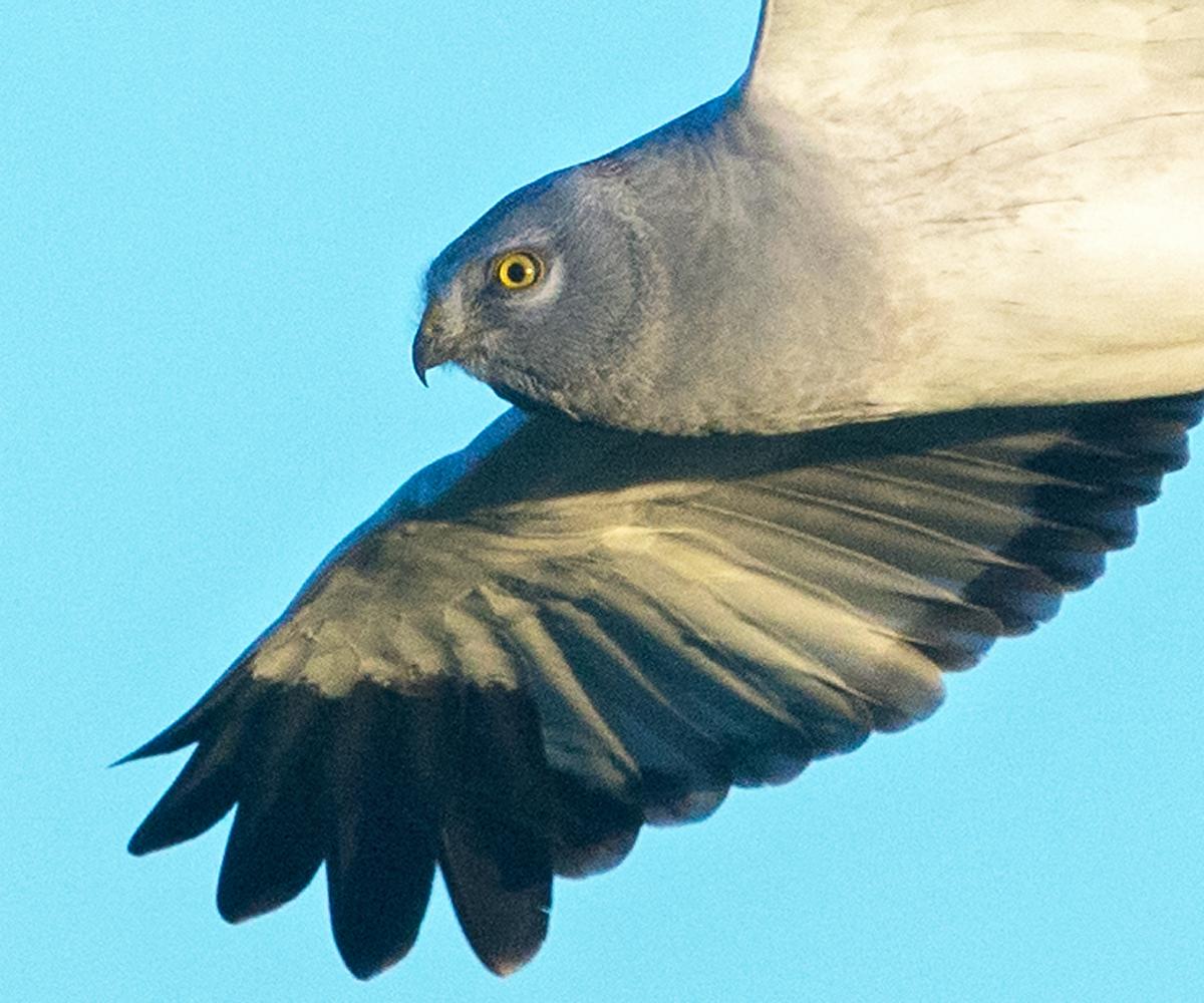 Kornweihe, Circus cyaneus, Hen Harrier, vögel, birds, greifvögel, Accipitriformes, raptors