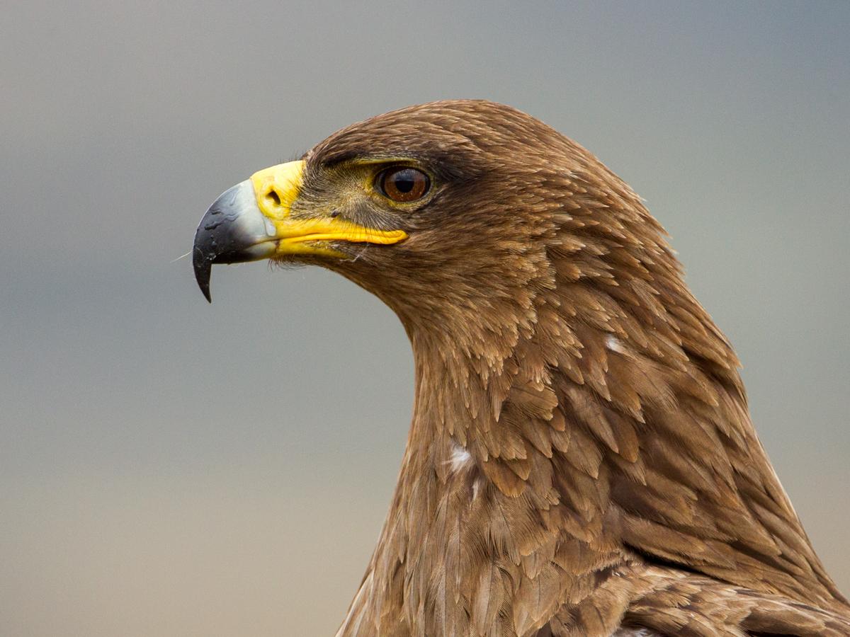 Aquila rapax, Raubadler, Savannenadler, Tawny Eagle, vögel, birds, greifvögel, Accipitriformes, raptors, adler, eagle