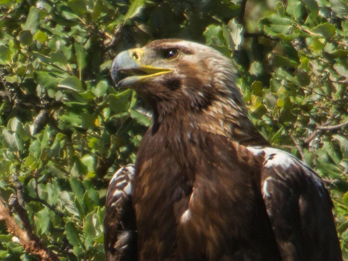 Spanischer Kaiseradler, Aquila adalberti, Spanish Imperial Eagle, Iberian Imperial Eagle, Adalbert's Eagle, greifvögel, Accipitriformes, raptors, vögel, birds