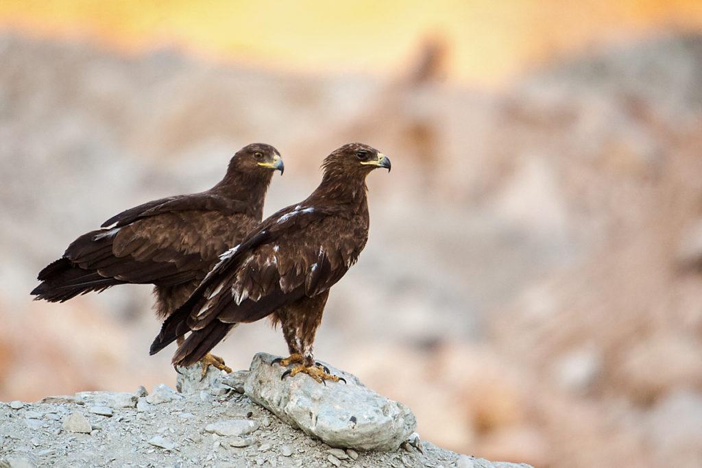 Schelladler, Aquila clanga, Spotted Eagle, vögel, birds, greifvögel, Accipitriformes, raptors, adler, eagle, altvögel