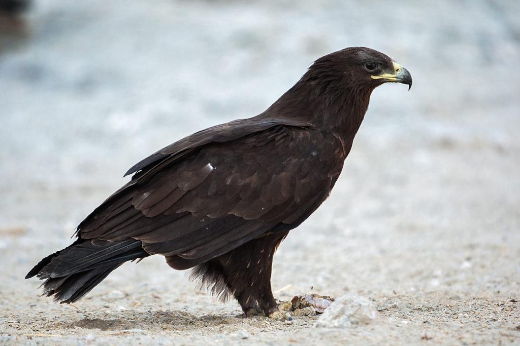 Schelladler, Aquila clanga, Spotted Eagle, vögel, birds, greifvögel, Accipitriformes, raptors, adler, eagle, immatur