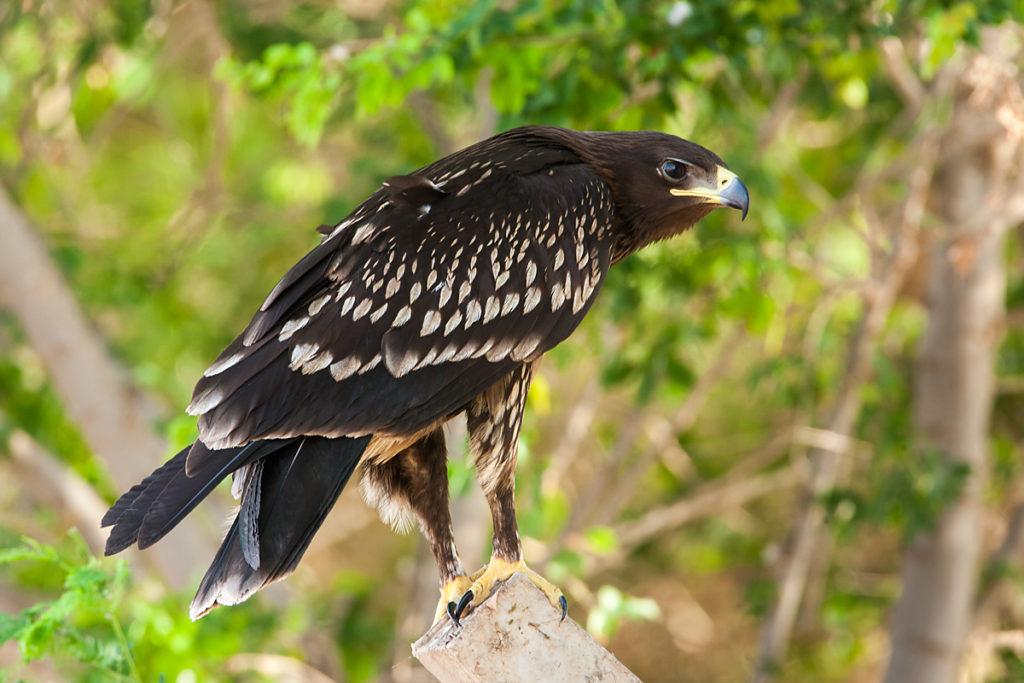 Schelladler, Aquila clanga, Spotted Eagle, vögel, birds, greifvögel, Accipitriformes, raptors, adler, eagle, juvenil