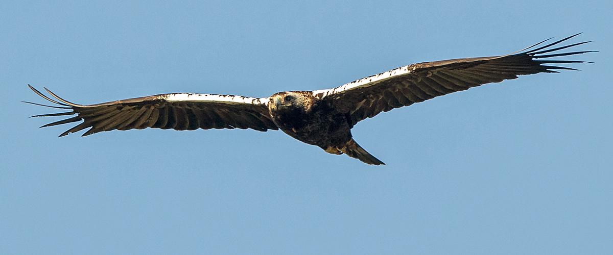Spanischer Kaiseradler, Aquila adalberti, Spanish Imperial Eagle, Iberian Imperial Eagle, Adalbert's Eagle, greifvögel, Accipitriformes, raptors, vögel, birds, flug, fliegend