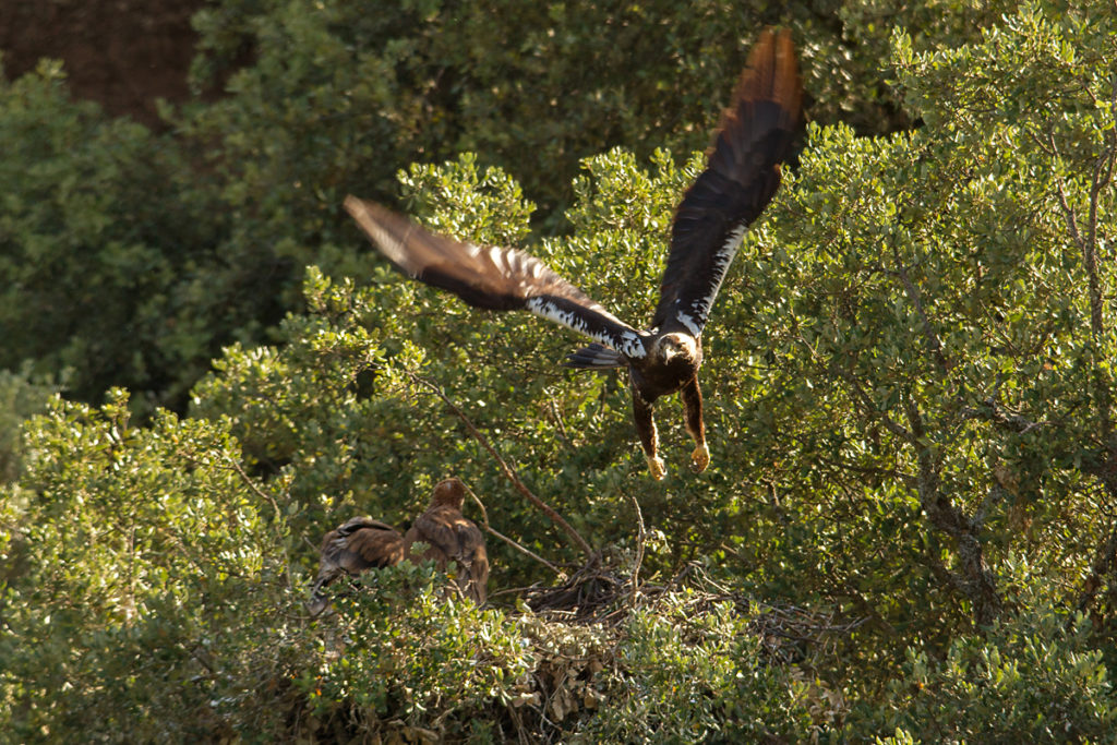 Spanischer Kaiseradler, Aquila adalberti, Spanish Imperial Eagle, Iberian Imperial Eagle, Adalbert's Eagle, greifvögel, Accipitriformes, raptors, vögel, birds, horst, nest