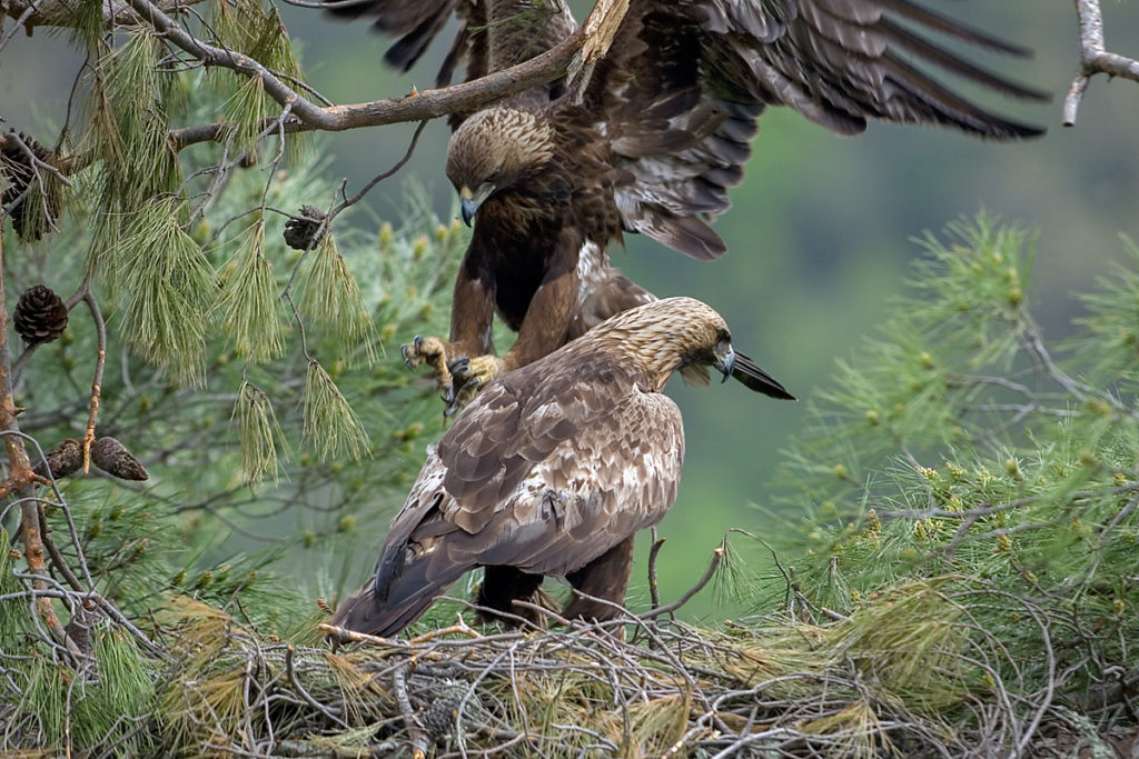 Steinadler, Aquila chrysaetos, Golden Eagle, vögel, birds, greifvögel, Accipitriformes, raptors, adler, eagle, nest, horst, altvogel