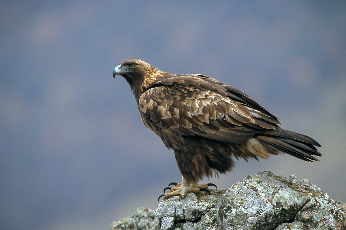 Steinadler, Aquila chrysaetos, Golden Eagle, vögel, birds, greifvögel, Accipitriformes, raptors, adler, eagle, altvogel
