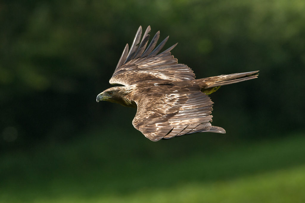 Steinadler, Aquila chrysaetos, Golden Eagle, vögel, birds, greifvögel, Accipitriformes, raptors, adler, eagle, flug, oberseite, fliegender