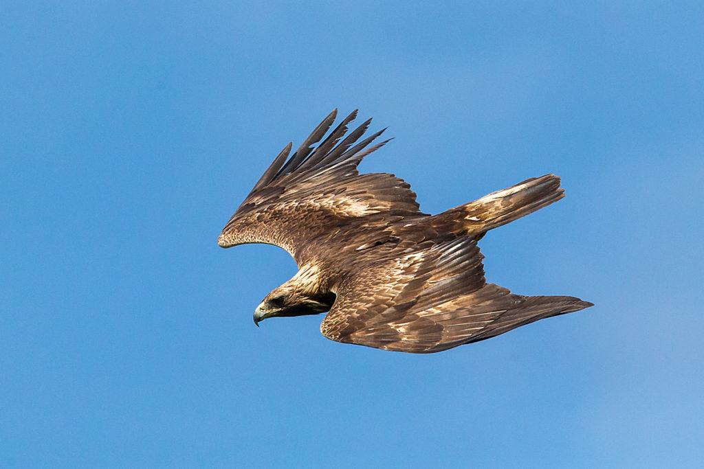 Steinadler, Aquila chrysaetos, Golden Eagle, vögel, birds, greifvögel, Accipitriformes, raptors, adler, eagle, flug, oberseite