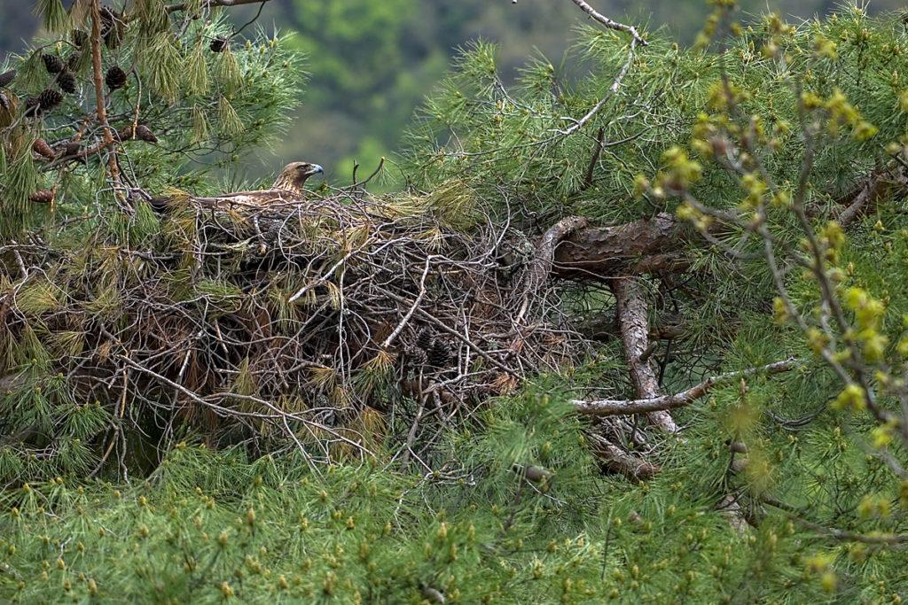 Steinadler, Aquila chrysaetos, Golden Eagle, vögel, birds, greifvögel, Accipitriformes, raptors, adler, eagle, nest, horst, altvogel, brut, brütend