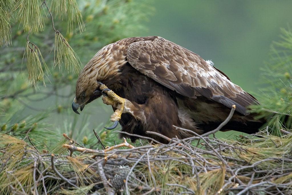 Steinadler, Aquila chrysaetos, Golden Eagle, vögel, birds, greifvögel, Accipitriformes, raptors, adler, eagle, nest, horst, altvogel, kralle, füße