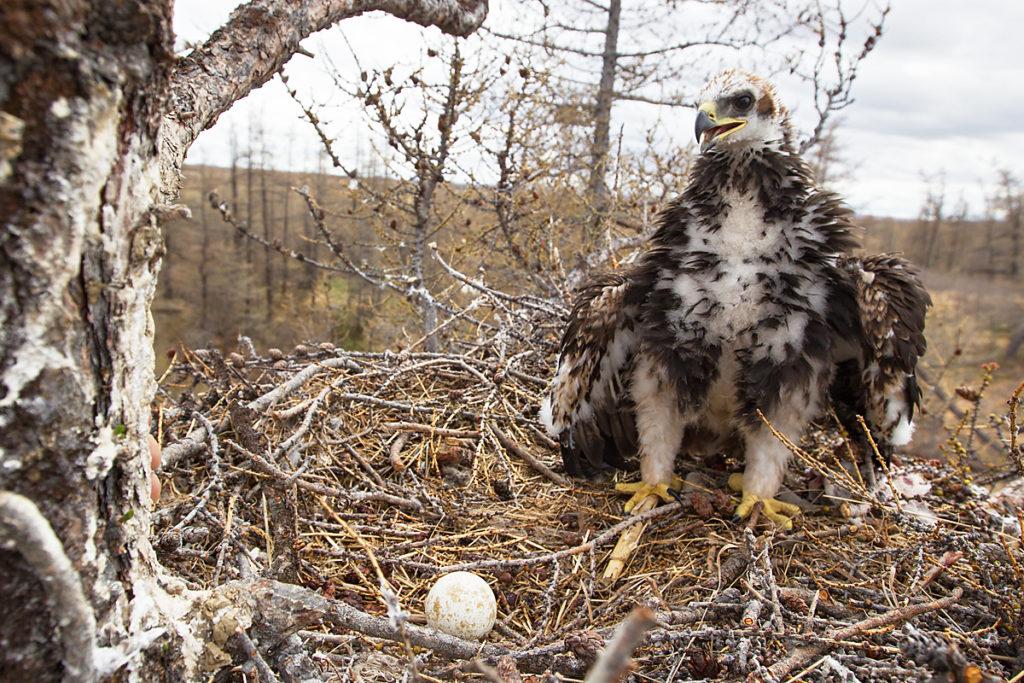 Steinadler, Aquila chrysaetos, Golden Eagle, vögel, birds, greifvögel, Accipitriformes, raptors, adler, eagle, nest, horst, jungvogel, juvenil, ei