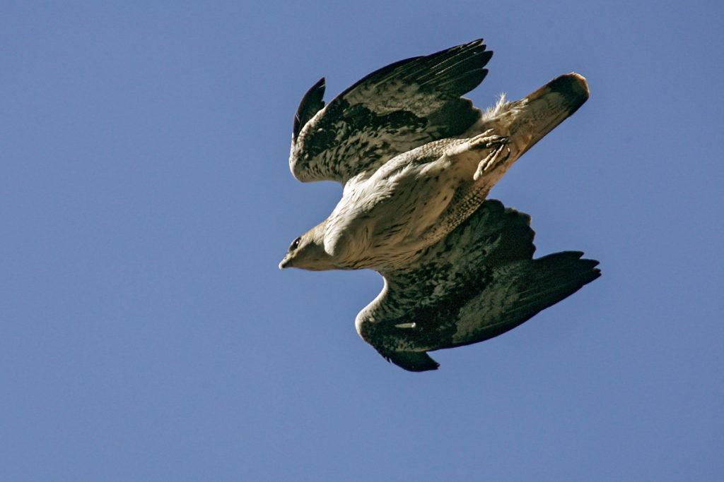 Habichtsadler, Aquila fasciata, Bonelli`s Eagle, vögel, birds, greifvögel, Accipitriformes, raptors, adler, eagle, jadg, beute, sturzflug