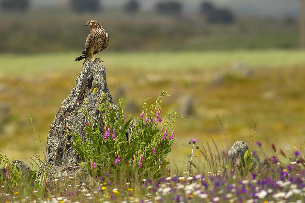 Wiesenweihe, Circus pygargus, Montagu`s Harrier, greifvögel, Accipitriformes, raptors, vögel, birds, weibchen, extremadura