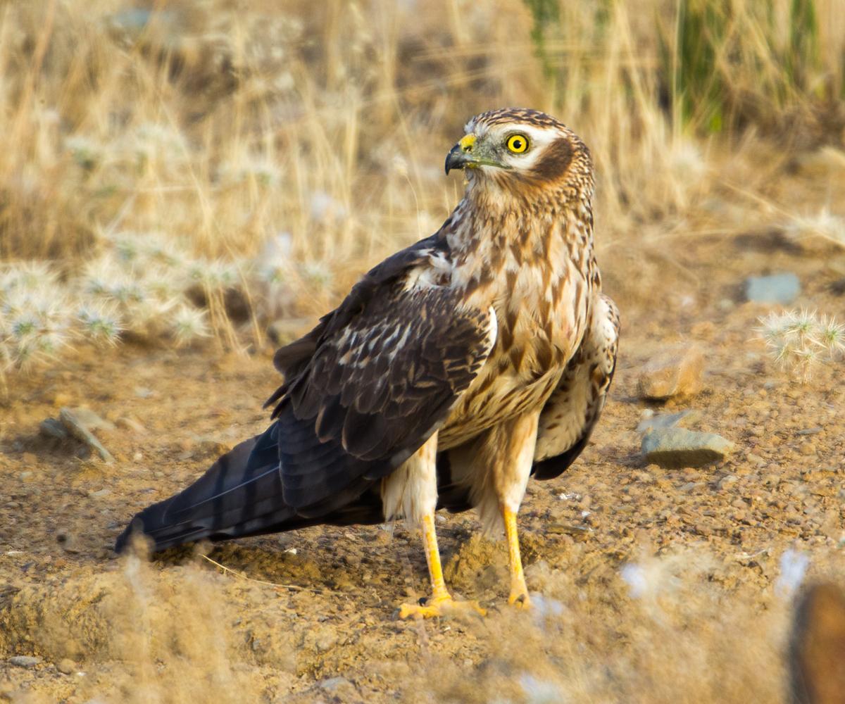 Wiesenweihe, Circus pygargus, Montagu`s Harrier, greifvögel, Accipitriformes, raptors, vögel, birds, weibchen