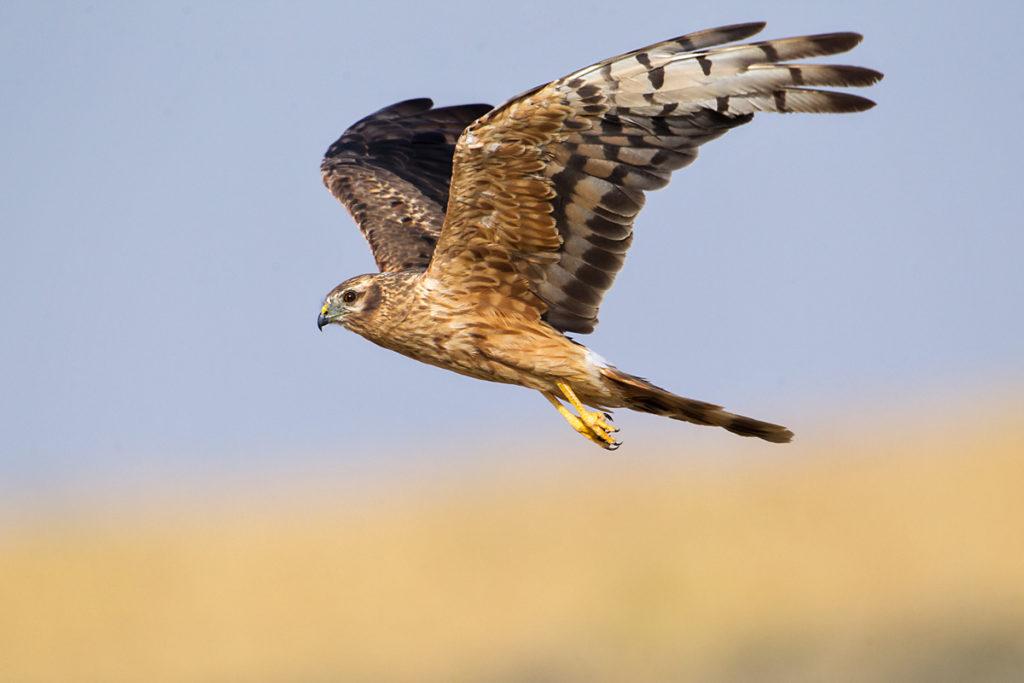 Wiesenweihe, Circus pygargus, Montagu`s Harrier, greifvögel, Accipitriformes, raptors, vögel, birds, weibchen, flug, fliegend