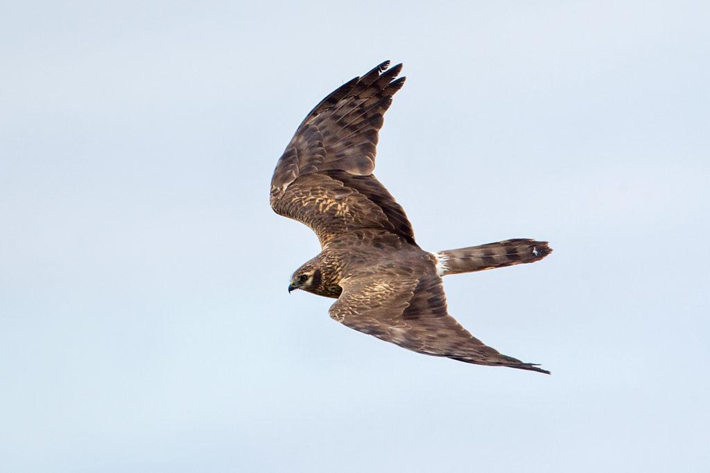 Wiesenweihe, Circus pygargus, Montagu`s Harrier, greifvögel, Accipitriformes, raptors, vögel, birds, flug, fliegend, Weibchen
