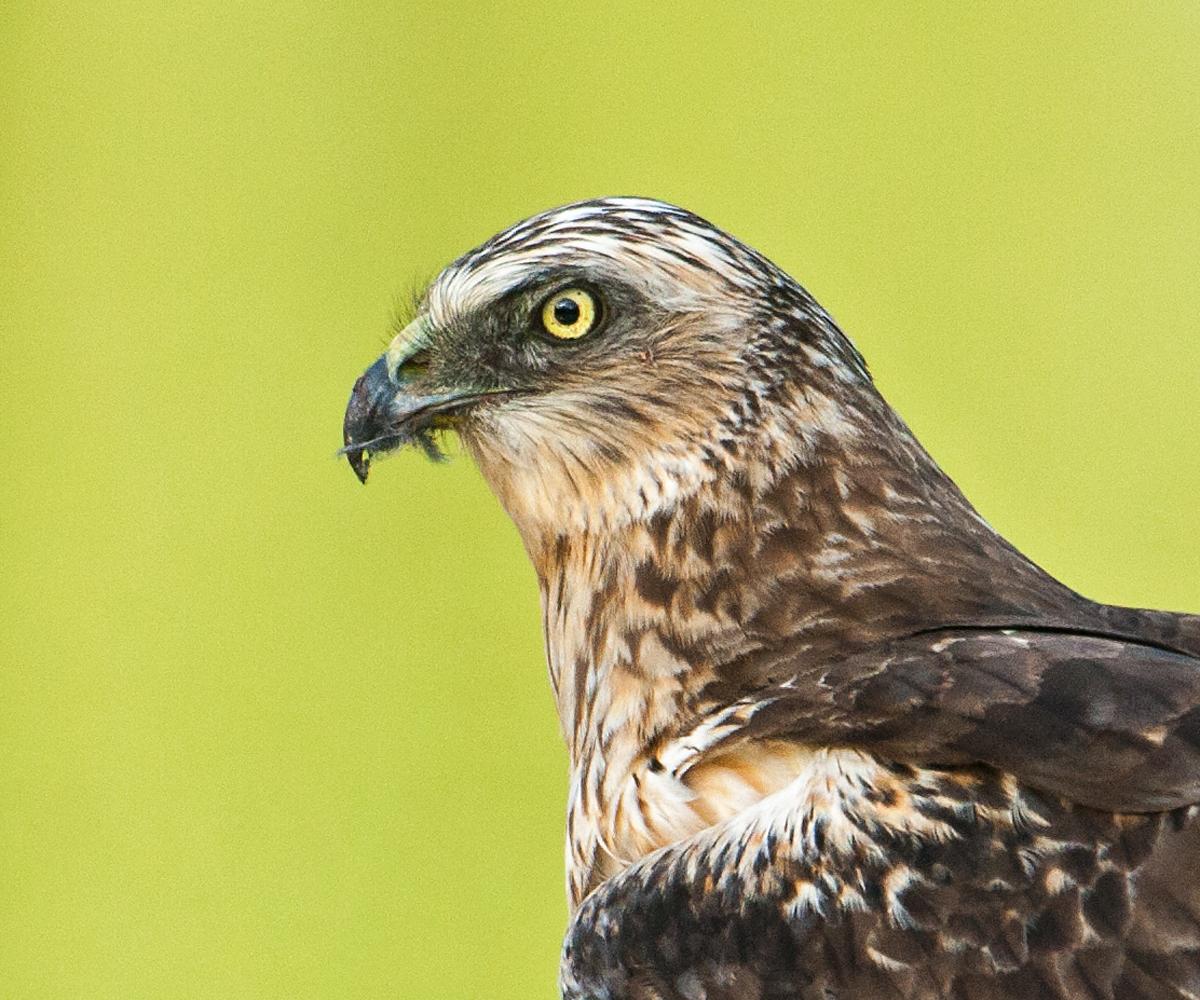 Rohrweihe, Circus aeruginosus, Marsh Harrier, greifvögel, Accipitriformes, raptors, vögel, birds, porträt, männchen