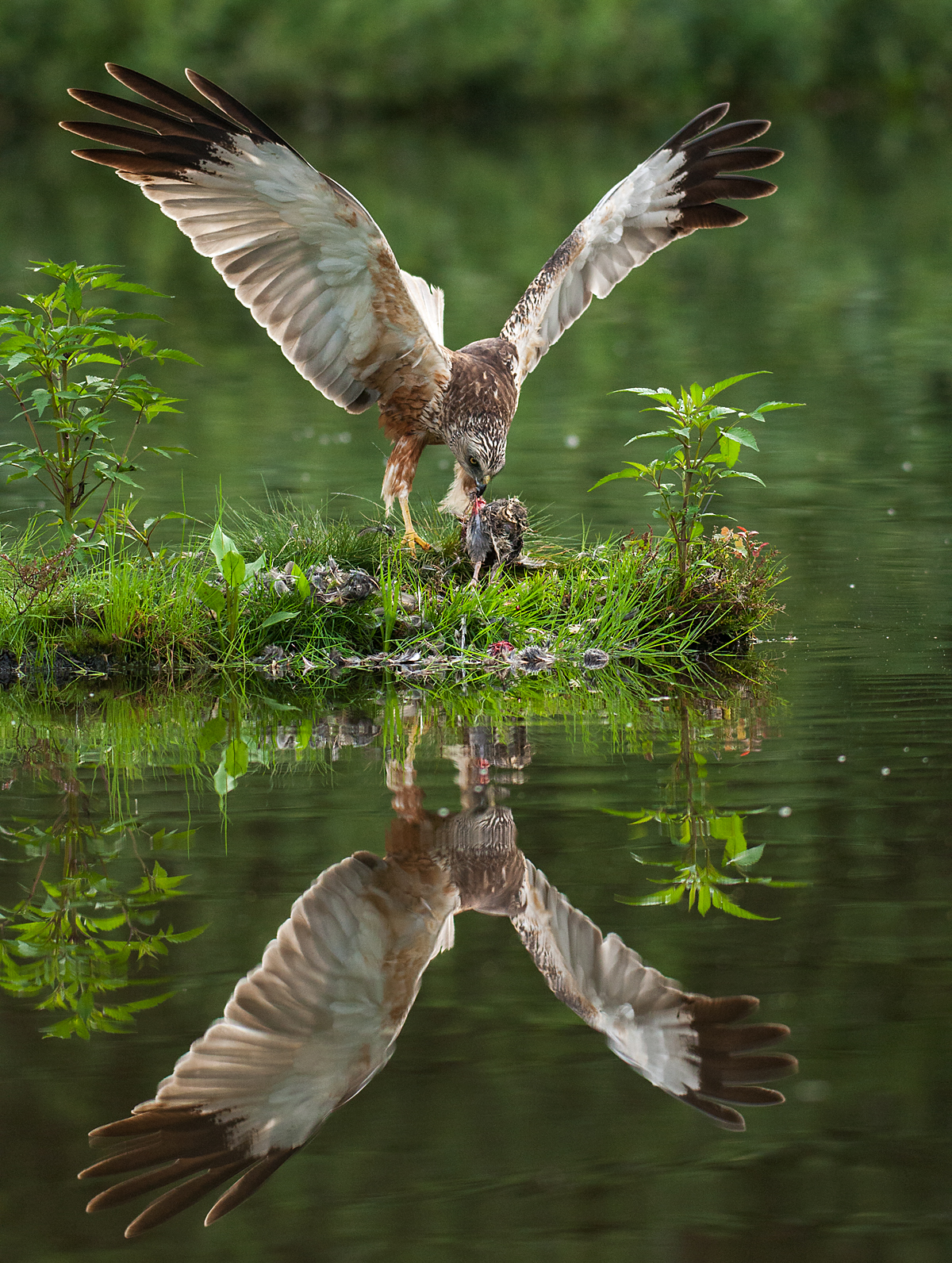 Rohrweihe, Circus aeruginosus, Marsh Harrier, greifvögel, Accipitriformes, raptors, vögel, birds