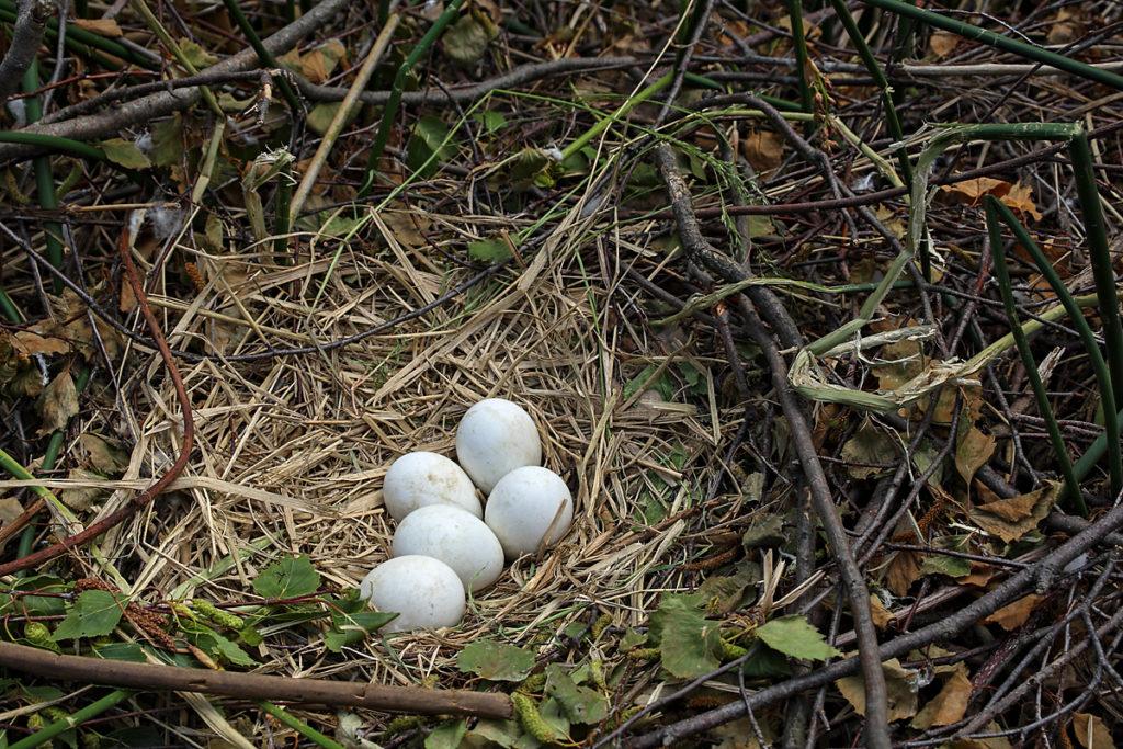 Rohrweihe, Circus aeruginosus, Marsh Harrier, greifvögel, Accipitriformes, raptors, vögel, birds, gelege, eier