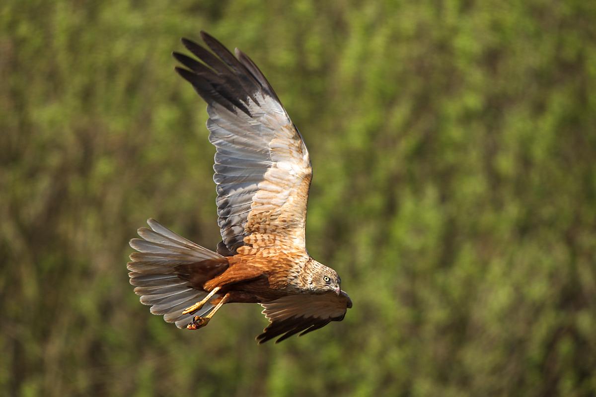 Rohrweihe, Circus aeruginosus, Marsh Harrier, greifvögel, Accipitriformes, raptors, vögel, birds, männchen