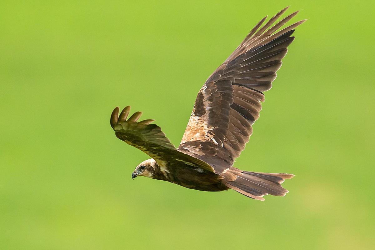 Rohrweihe, Circus aeruginosus, Marsh Harrier, greifvögel, Accipitriformes, raptors, vögel, birds, weibchen