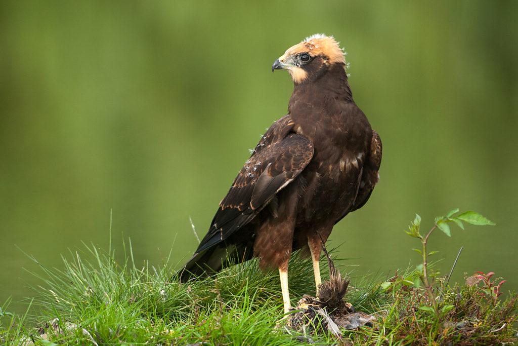 Rohrweihe, Circus aeruginosus, Marsh Harrier, greifvögel, Accipitriformes, raptors, vögel, birds, jungvogel, juvenil