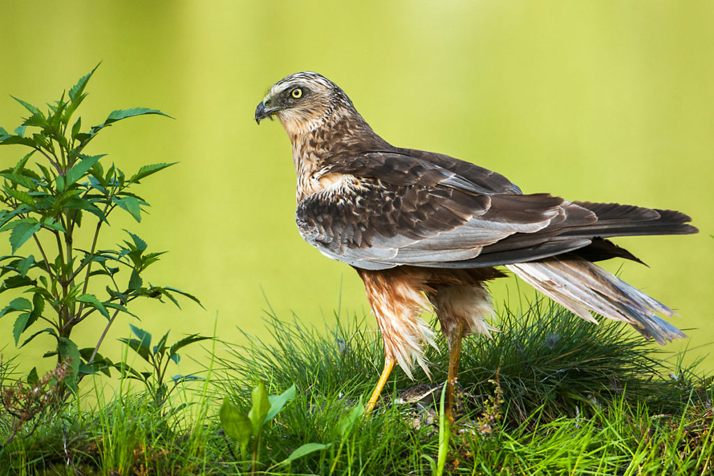 Rohrweihe, Circus aeruginosus, Marsh Harrier, greifvögel, Accipitriformes, raptors, vögel, birds, männchen, male