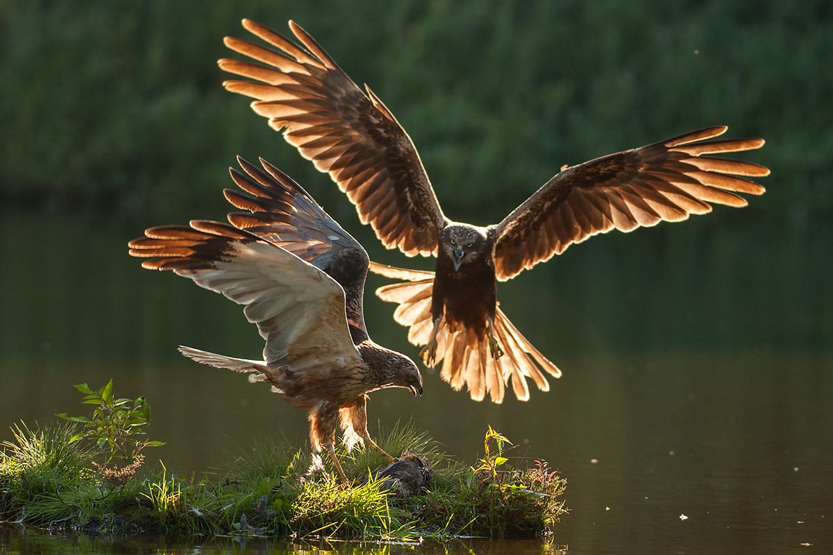Rohrweihe, Circus aeruginosus, Marsh Harrier, greifvögel, Accipitriformes, raptors, vögel, birds, männchen, weibchen, beuteübergabe
