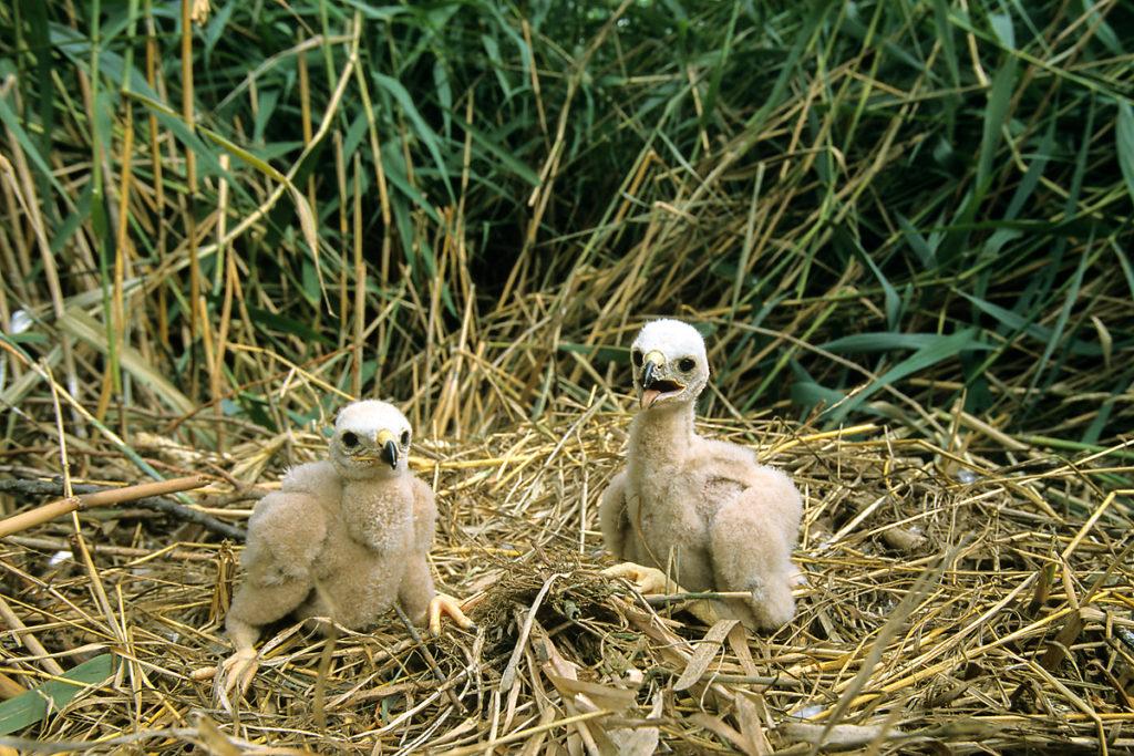 Rohrweihe, Circus aeruginosus, Marsh Harrier, greifvögel, Accipitriformes, raptors, vögel, birds, nestlinge