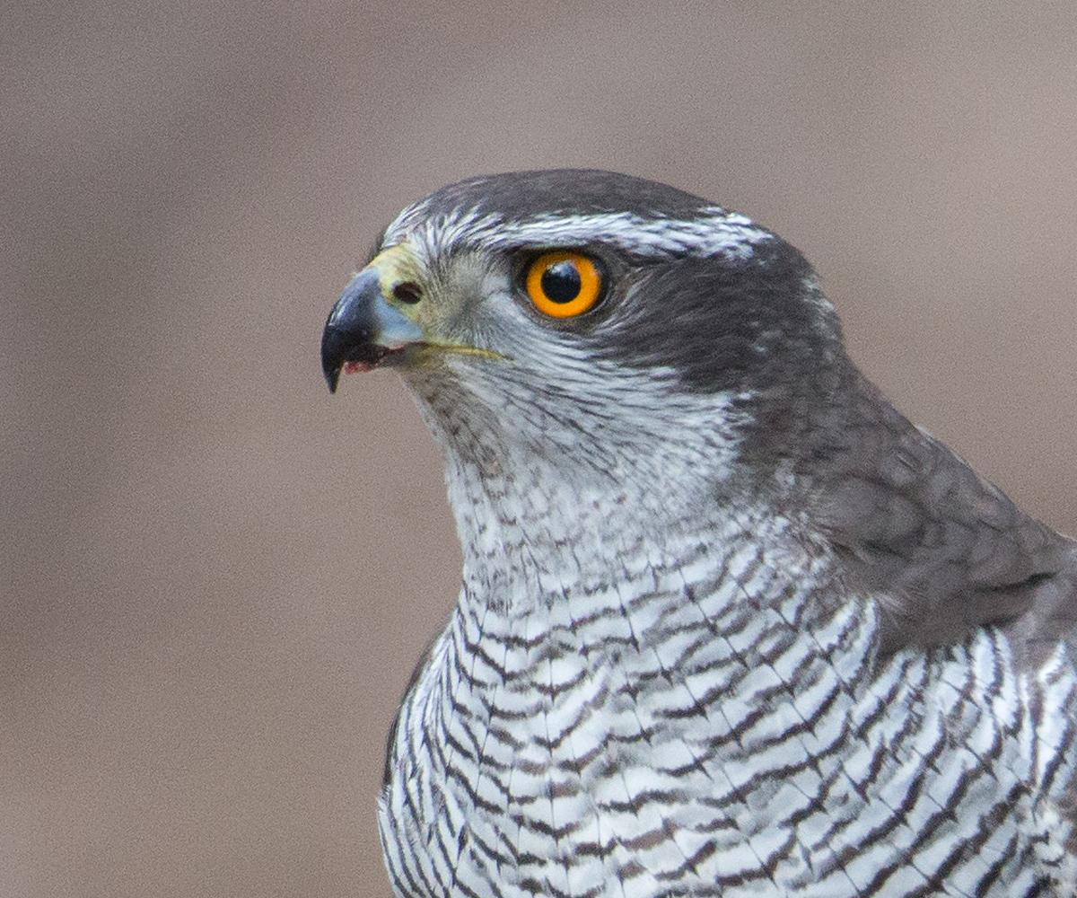 Habicht, Accipiter gentilis, Goshawk, greifvögel, Accipitriformes, raptors, vögel, birds