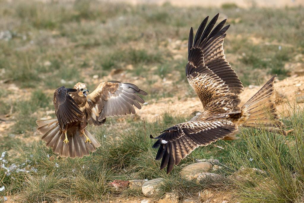 Rohrweihe, Circus aeruginosus, Marsh Harrier, greifvögel, Accipitriformes, raptors, vögel, birds, Roter Milan, Rotmilan, Milvus milvus, Red Kite