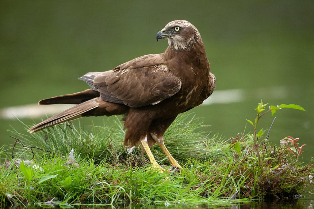 Rohrweihe, Circus aeruginosus, Marsh Harrier, greifvögel, Accipitriformes, raptors, vögel, birds, weibchen, female