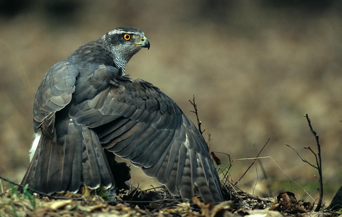 Accipiter gentilis; Goshawk; Habicht; birds; falconiformes; greifvögel; male; männchen; raptors; vögel