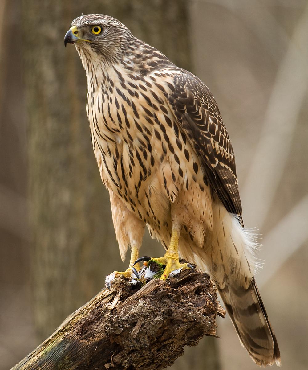 Accipiter gentilis; Goshawk; Habicht; birds; greifvögel; jungvogel, pröhl; raptors; vögel